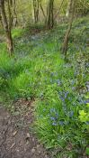 Walking in Treeton's bluebell woods on Election day 2016
